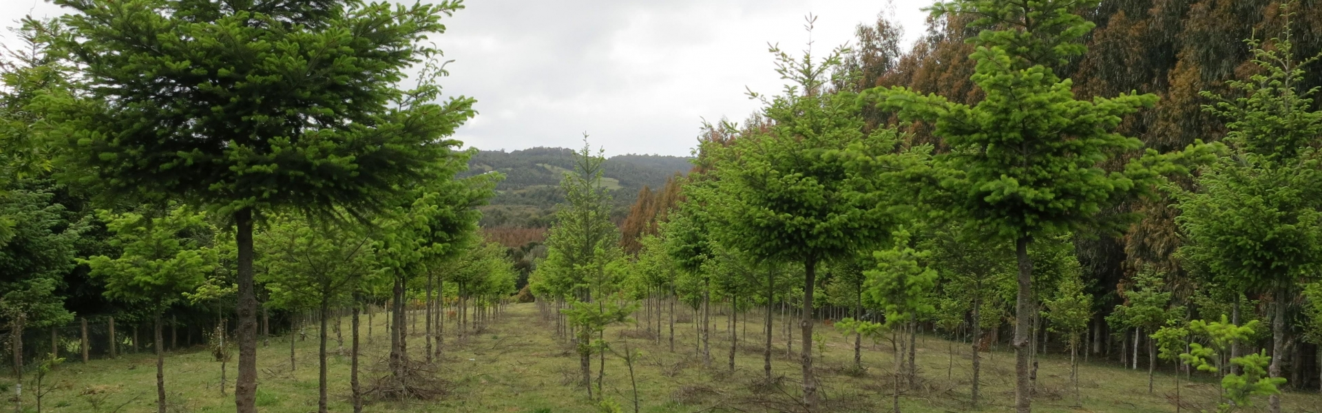 Trees planted in rows in grassy area
