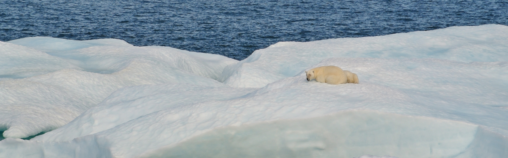 Polar bear rests on floating ice
