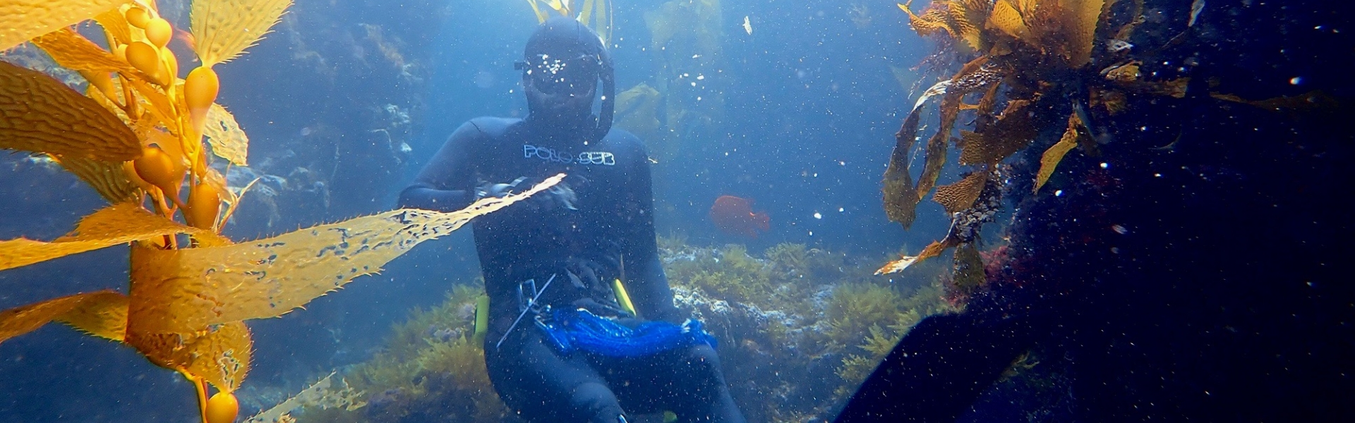 Scuba diver in a kelp forest