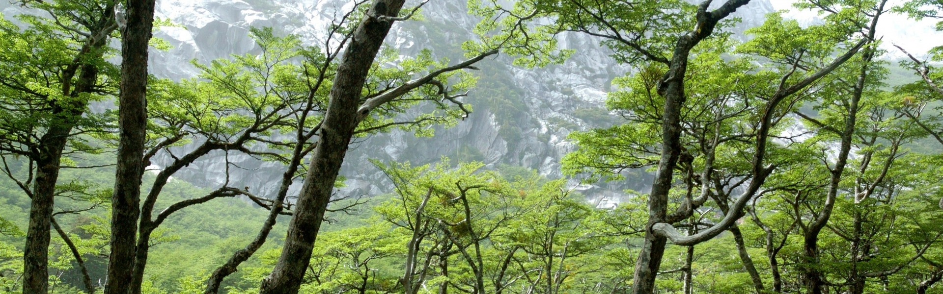 Lush native forest trees in Chile