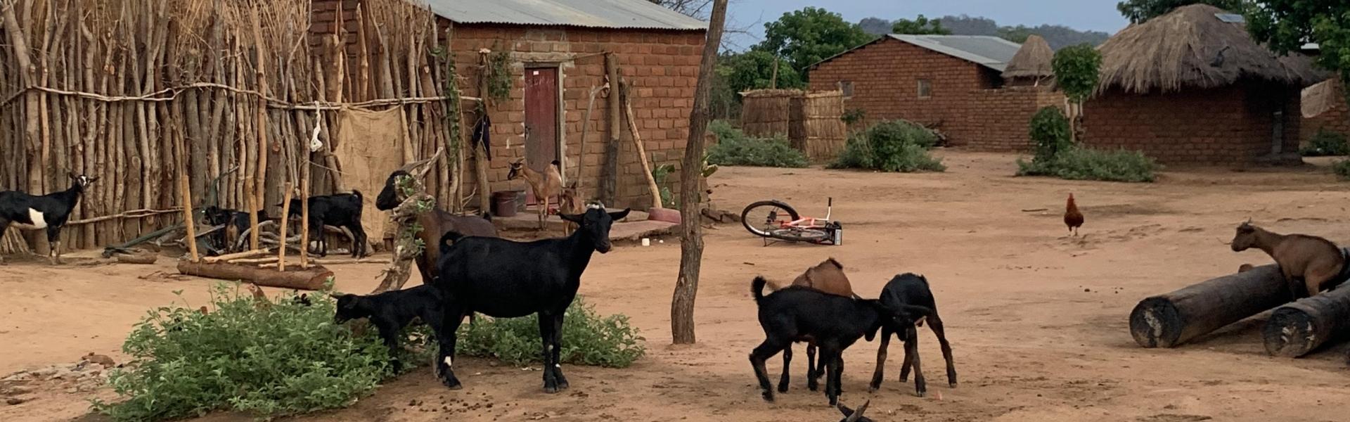 Goats on a rural farm