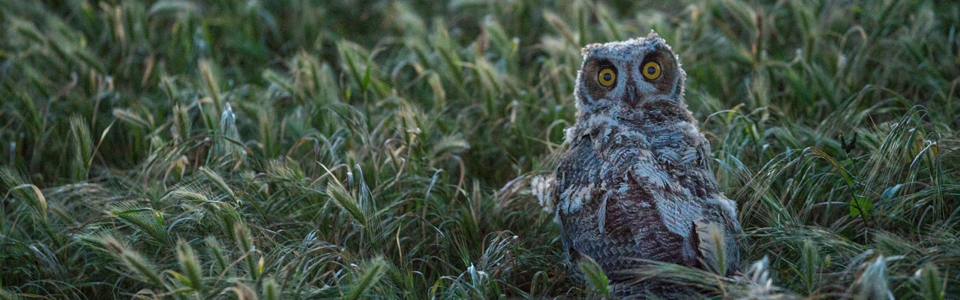 Burrowing owl in a field of grass