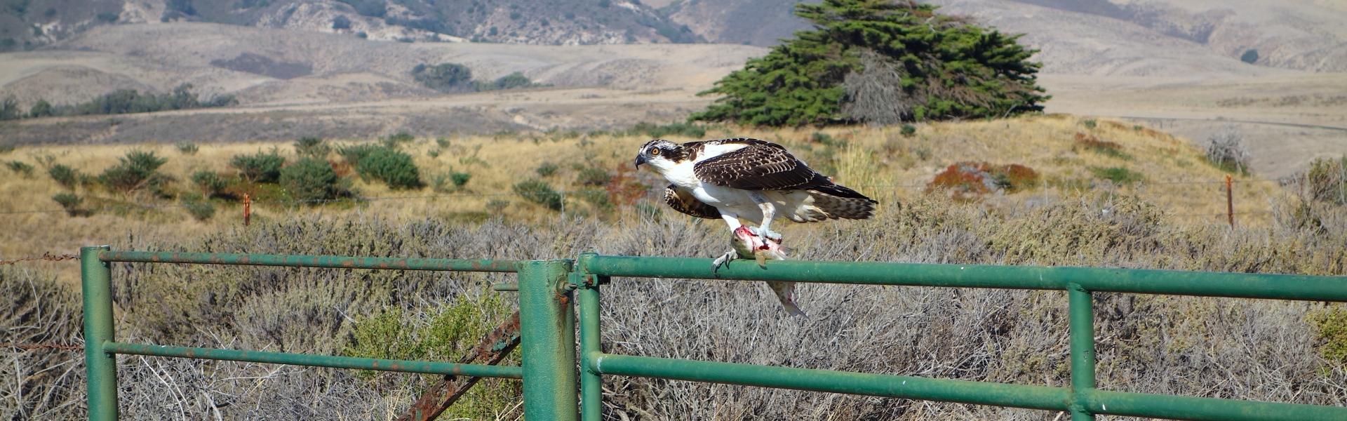Osprey bird sits on metal fence