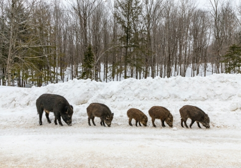 Five wild pigs on a snowy road