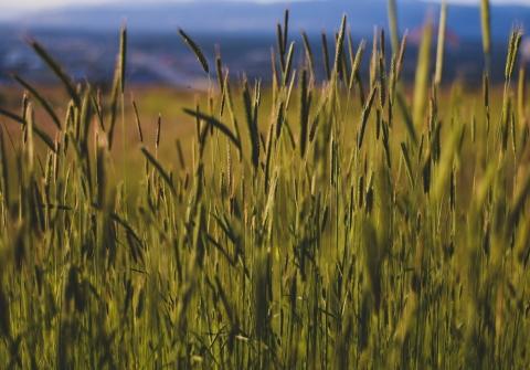 A field of prarie grass