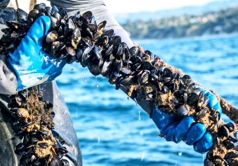 Gloved hand holding rope of farmed mussels
