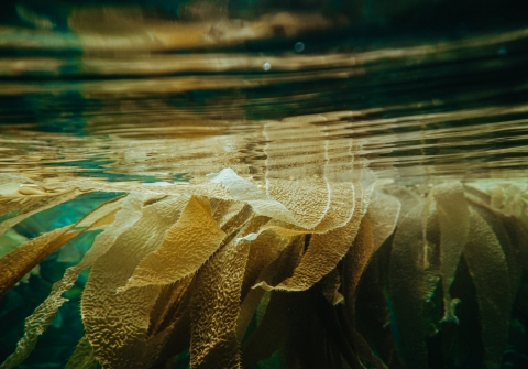 Kelp floats near the surface of the water