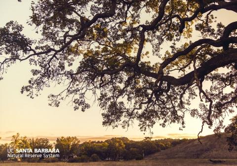 An oak tree at sunset