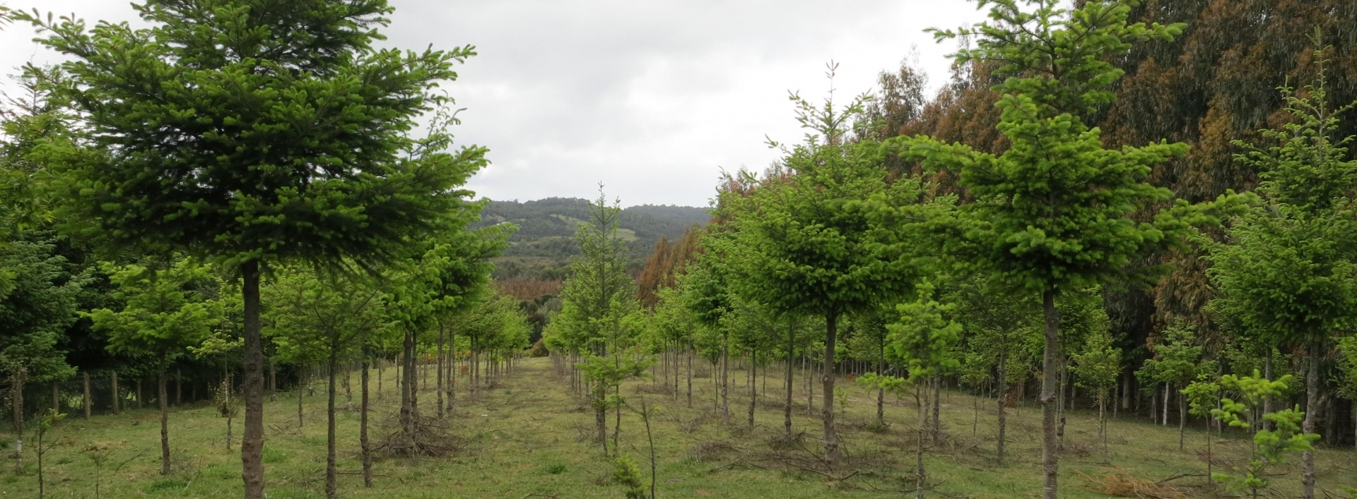 Lines of trees growing in grassy zone