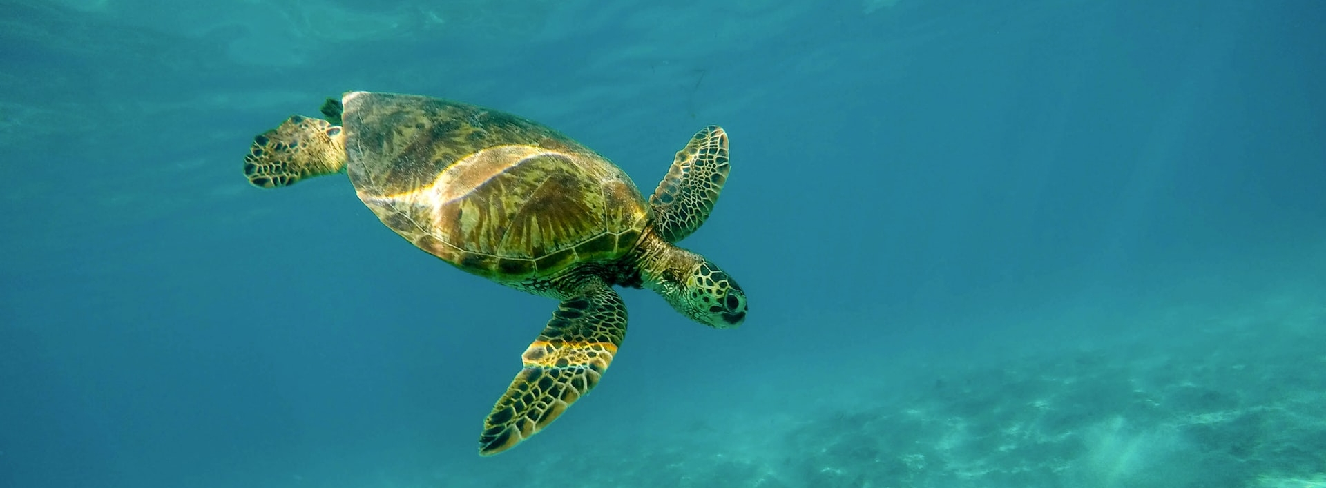 A turtle swims underwater
