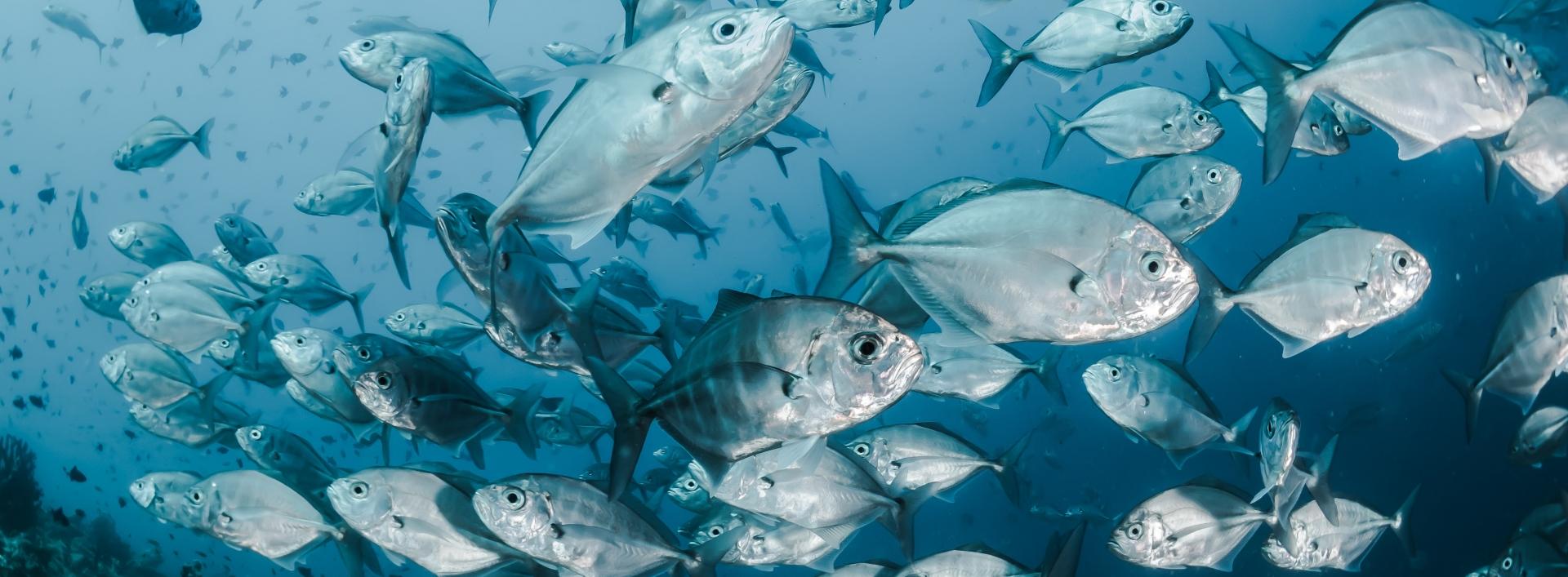 School of silver fish underwater