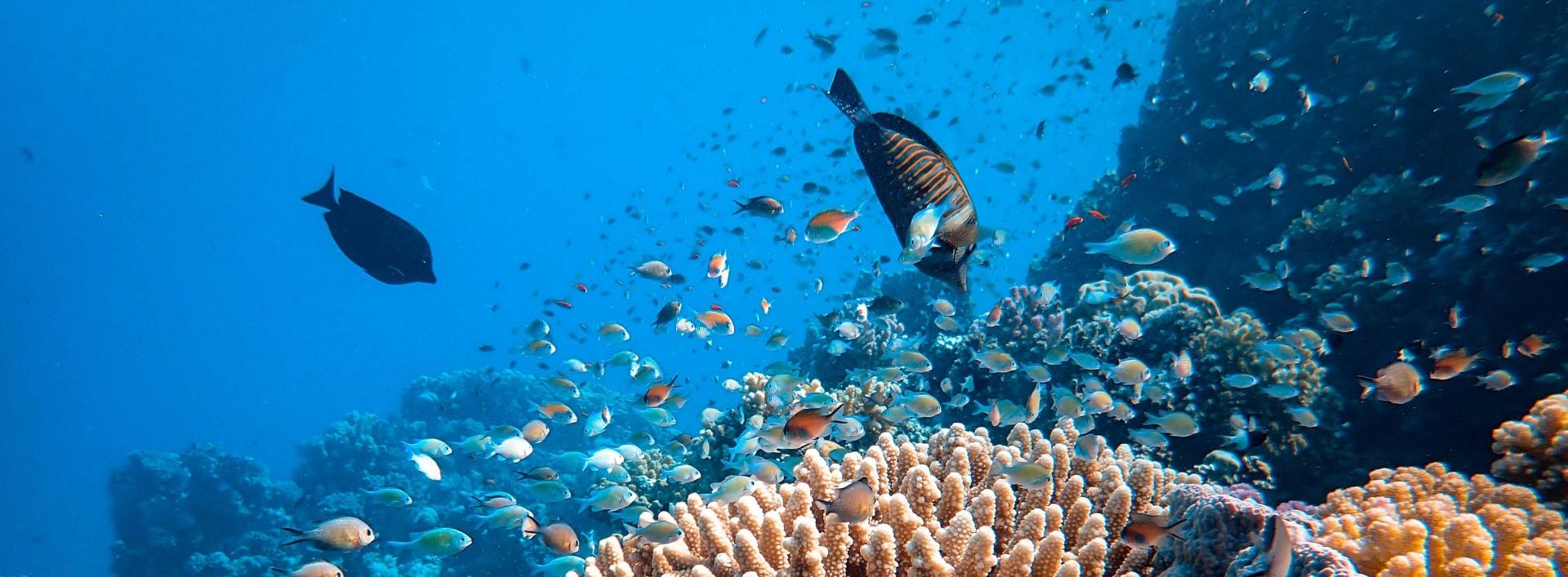 Ocean full of coral, fish and manta ray