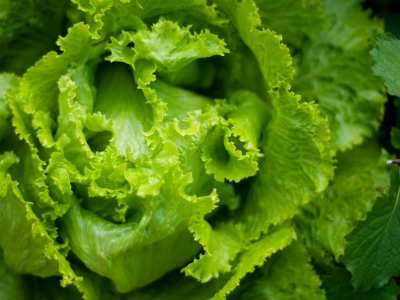 Close up on head of lettuce