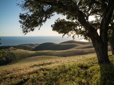 Oak tree on hillside overlooking ocean