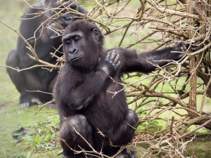 gorillas in the congo