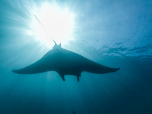 Silhouette of a sting ray underwater