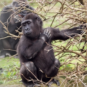 gorillas in the congo