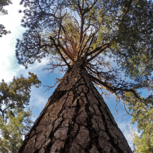 ground level view of a tall pine tree